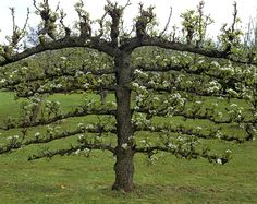 espalier pear palissage pour arbre fruitier pinterest fruitier arbres fruitiers et taille. Black Bedroom Furniture Sets. Home Design Ideas