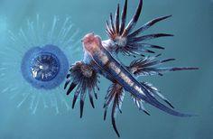 Blue Sea Slug (Glaucus atlanticus) and Blue Bottle Jellyfish (Porpita Porpita pacifica)
