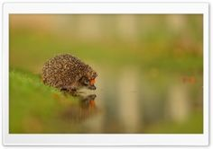 Little Hedgehog At The Water HD Wide Wallpaper for Widescreen