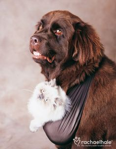 Henry and Edmund (Newfoundland & Himalayan Persian) - Henry carries Edmund everywhere he goes.