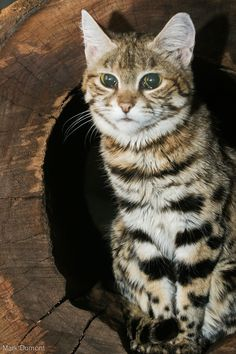 Black-footed cat, also called small-spotted cat (Felis nigripes) Beautiful Cats, Animals Beautiful, Black Footed Cat, Wild Cat Species, Small Wild Cats, Sand Cat, Spotted Cat, Cute Wild Animals, Dog Lady