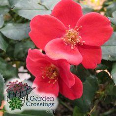 High disease resistance, bold red flowers, dark green foliage. Home Run Rose® #proven_winners