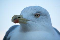 Seagull #1