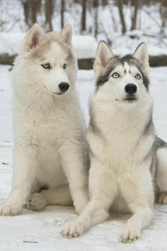 Our sweet, sweet spirit animals...so much love... Snow Dogs, Siberian Huskies, Husky Dog, Wolf Husky, Alaskan Husky, Alaskan Malamute, Animals And Pets, Cute Animals, Beautiful Dogs