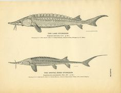 "Original print from 1884 Drawn by: H. Todd From: ""The Fisheries and Fishery Industries of the United States"" prepared by George Brown Goode Publisher: Government Printing Office in Washington Condi Lake Sturgeon, Lake George Ny, Art Nouveau, Street Art, Japanese Illustration, Fish Print, Detailed Drawings, Thing 1, Shovel"