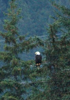 Bald Eagle - photo taken in Juneau Alaska