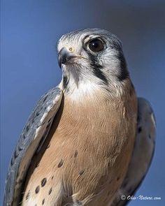 kestrel-male by Ohio-Nature.com, via Flickr