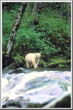 "I want to go see the ""spirit bear"" in the rain forests of British Columbia! Animals Beautiful, Cute Animals, Bear Totem, Spirit Bear, Canada Eh, Bear Pictures, Nature Tree, Wild Life, Black Bear"