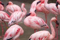 Pink Flamingos at Oregon Zoo will debut to the public on March 23 (photos + video) | OregonLive.com