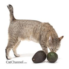 foods & other substances that are bad for kitties.