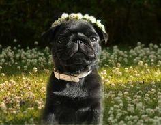 Pretty pug posing in a field of flowers.