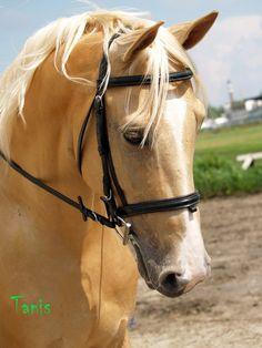 palomino stallion Verdict