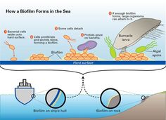 Barnacles and Biofilms : Woods Hole Oceanographic Institution
