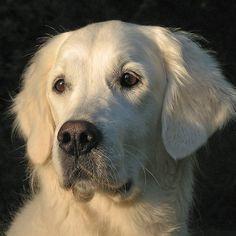 followthewestwind:  Portrait of my Golden Retriever Ditte