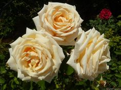 'Diamond Jubilee' Rose Photo