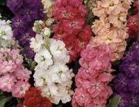 STOCK- Giant Imperial Mixed Hardy spring flowering biennial, grown as an annual.  Grows to 60cm tall with long branches of flowers.  Mix of colours.  Strong fragrance.  Great as a cut flower.     FOR BEST RESULTS:  Sow seed direct in mid summer to autumn.  Autumn only in warm areas.