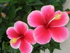 Nothing more Aloha than Pink Hibiscus !