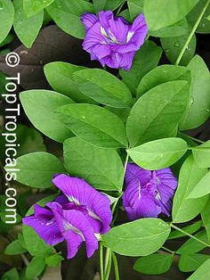 Butterfly pea, Asian pigeonwings. Perfect vine! Blooms year-round, fast growing, easy, not invasive, controllable, not messy, curious bright blue flower - Clitoris-like flower shape, hence name of the plant. Fast-growing climber with fine foliage, pinnate leaves.