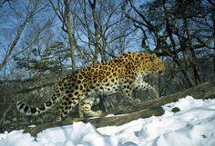 the very rare amur leopard