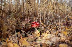 Мухомор красный (Amanita muscaria) фото грибов, лесной гриб мухомор