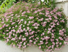 Gardening Little Princess Spirea Healthy 25 Potted ShrubPlant Flowering 6 Pack *** View this gardening item in details by clicking the image Planting Shrubs, Garden Shrubs, Garden Plants, Planting Flowers, Wooded Landscaping, Modern Landscaping, Landscaping Ideas, Little Princess Spirea, Tall Plants