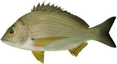 Fish Species of Lake Norman - What Kind of Fish Are in Lake Norman?: Yellowfin Bream