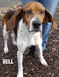 ADOPTED! Tag# 13421 Name is Bell Treeing Walker Coonhound  Female-not spayed Approx. 2-3 years old Sweet girl who is a bit skittish, likes to be close! Appears dog friendly...  Located at 2396 W Genesee Street, Lapeer, Mi. For more information please call 810-667-0236. Adoption hrs M-F 9:30-12:00 & 12:30-4:15, Weds 9:30-12:00 & Sat 9:00-2:00  https://www.facebook.com/267166810020812/photos/a.969193146484838.1073742232.267166810020812/969193313151488/?type=3&theater