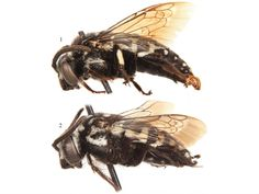 Cuckoo, cuckoo, new species of bee. 4 new species and a new genus of cuckoo bee have been discovered on the Republic of Cape Verde islands. Cuckoo bees, as their name suggests, quietly find their way into the hives of other bees and arrange the rearing of their own brood.