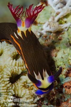 Bighorn Nembrotha sea slug (Nembrotha Megalocera) By Tomas Kotouc