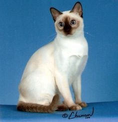There are smartest cat breed in the world that are integrated with a wisdom which will make you a proud and happy owners. Siamese Cats, Cats And Kittens, Kitty Cats, I Love Cats, Cute Cats, Adorable Kittens, Domestic Cat Breeds, Tonkinese Cat, Cat Reference