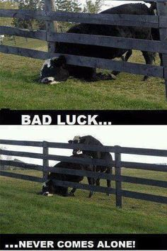 40 Funny Cow Pictures to Make your Day Dump Funny Commercials, Funny Ads, The Funny, That's Hilarious, Funny Cow Pictures, Funny Photos, Fail Pictures, Picture Fails, Humor Grafico