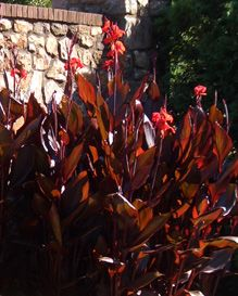 Cannas (Bengal Tiger variety)—4-6' tall green-yellow striped, maroon edged leaves and bright orange flowers. Full sun. Place on front wall?