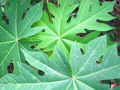 Recent research studies are showing papaya leaves may have potential as a cancer treatment. Here's information on papaya leaf cancer perparations that may benefit anyone facing the disease.