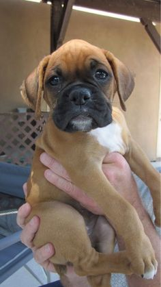 Maria and Bruce's Daphne...every bit as cute as she looks! #boxerpuppy