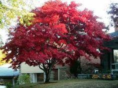 Resultado de imagen de árboles japoneses