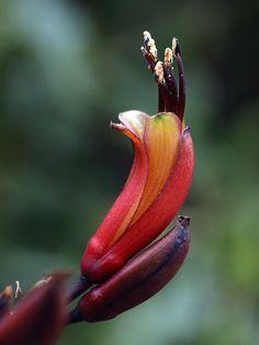 Harakeke flower