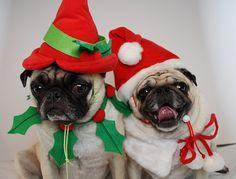 pug christmas card lol