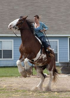 Clydesdale Rearing | Staying on a Clydesdale in mid-rear is a true talent | Flickr - Photo ...