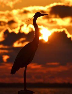 Great Blue Heron in Destin, FL