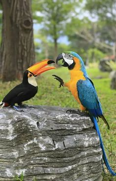 Toco Toucan (Ramphastos Toco Toco) interacting with a South American Blue-and-Gold Macaw Parrot (Ara Ararauna) Tropical Birds, Exotic Birds, Colorful Birds, Tropical Animals, Pretty Birds, Beautiful Birds, Animals Beautiful, Bird Pictures, Animal Pictures
