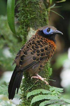 Ocellated Antbird (phaenostictus mcleannani ) in Panama by Bob Gress