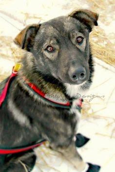 Nash - Iditarod sled dog for Jeff King died after encounter with drunk snowmobiler March 12, 2016 RIP Nash RIP