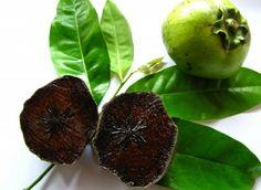 Exotische Pflanzen - der Schokoladen - Apfelbaum fürs Haus und Garten