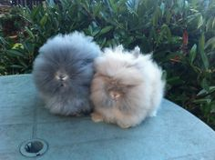 Lionhead rabbits. Opal and fawn home bred Lionhead rabbits