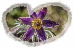 Kartka z sasanką / Pulsatilla postcard - Art-Of-Nature