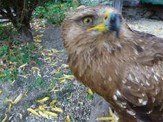 Astur falconry, aquila pomarina