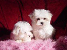 MALTESE PUPPY 10 WKS OLD