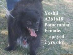 #ARIZONA ~ Yoshii is a Spayed 2y/o #adoptable Pomeranian Dog in #Tucson - She lived with a single person & children ages 4 & 15,  & is gentle & tolerant with kids tho not good with cats- she's also  housetrained.  She came in with Meiko (A271086).  They were brought to the shelter together after being abandoned by another family member. Can U help this #BondedPair of fluffies find a happy tail ?? #Adopt them soon at the PIMA ANIMAL CARE CENTER   4000 Silverbell Rd   #Tucson AZ  PH…