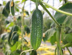 Biologische augurk hokus is geschikt voor de volle grond op een beschutte zonnig e plek. Online verkrijgbaar bij De Bolster