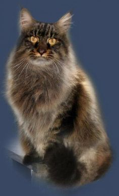 "Maine Coon cats ...all the patterns & colors they can have! Endlessly fascinating!  <3 ""A cat really is the most beautiful woman in the room."" --E V Lucas"